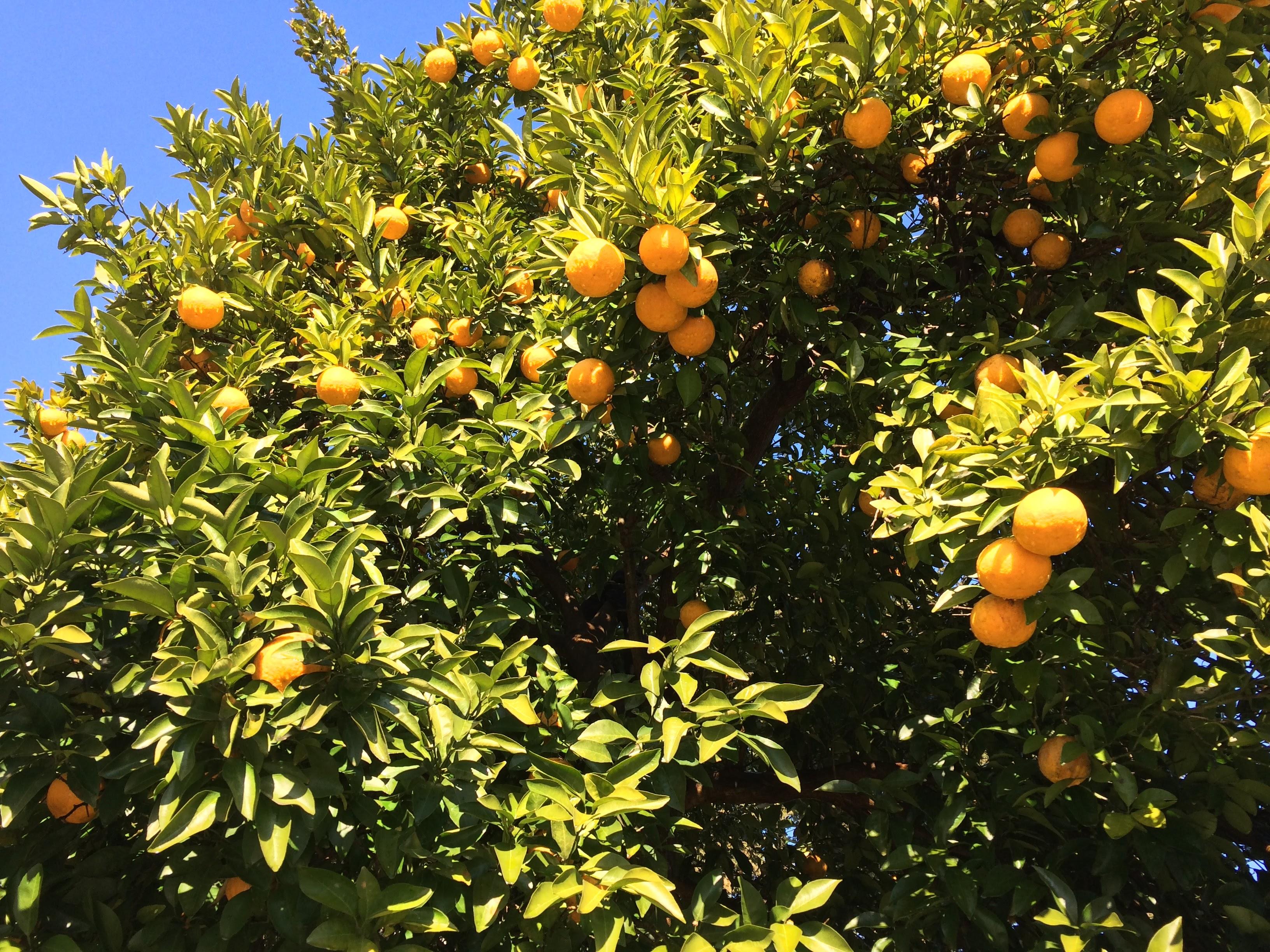 夏みかん収穫と薪割り 日高くるくるねっっと活動報告