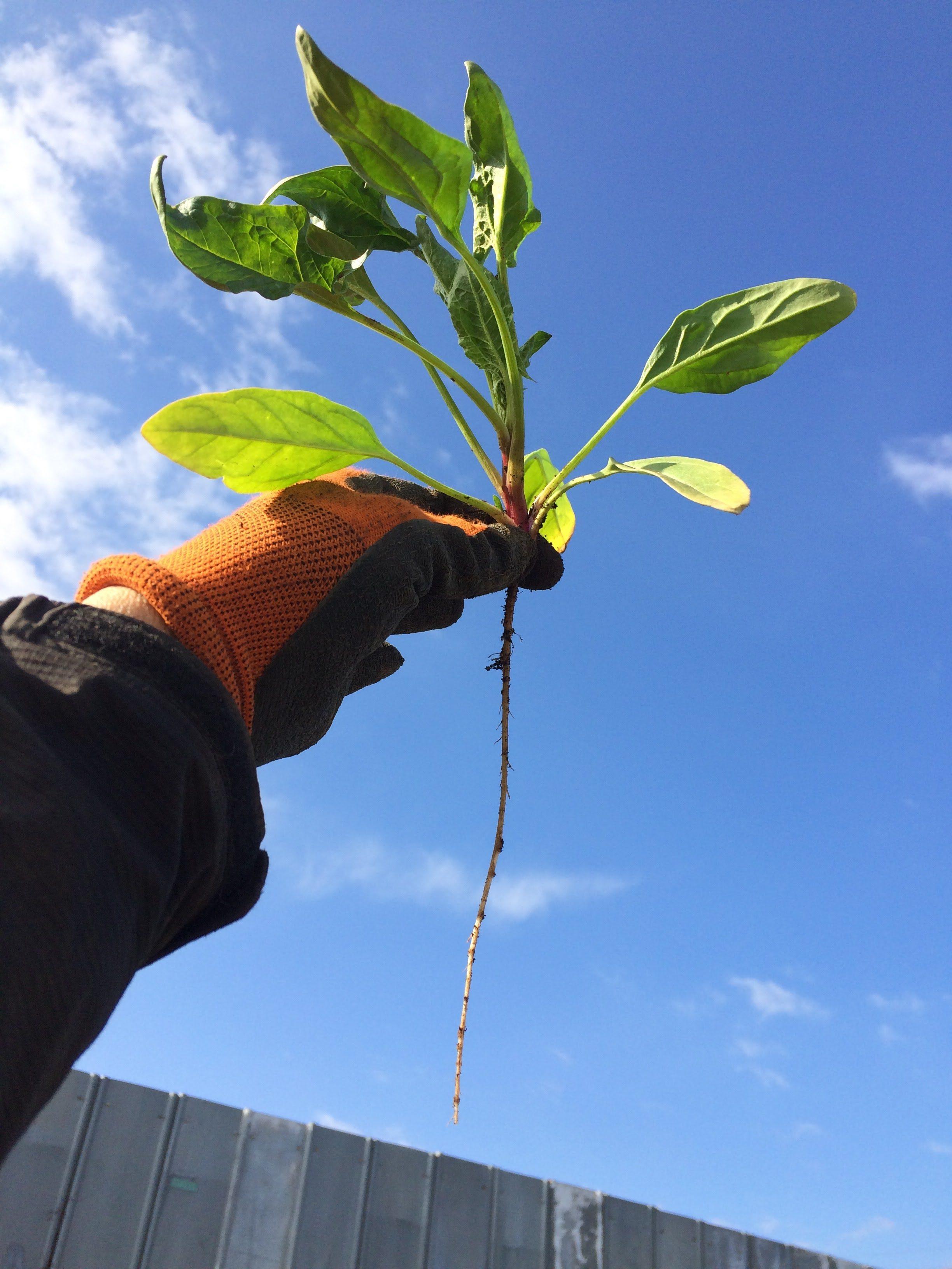 無肥料自然栽培の野菜の根っこは長い?【無肥料自然栽培農家 明石農園 研修10日目(2016年2月18日)】