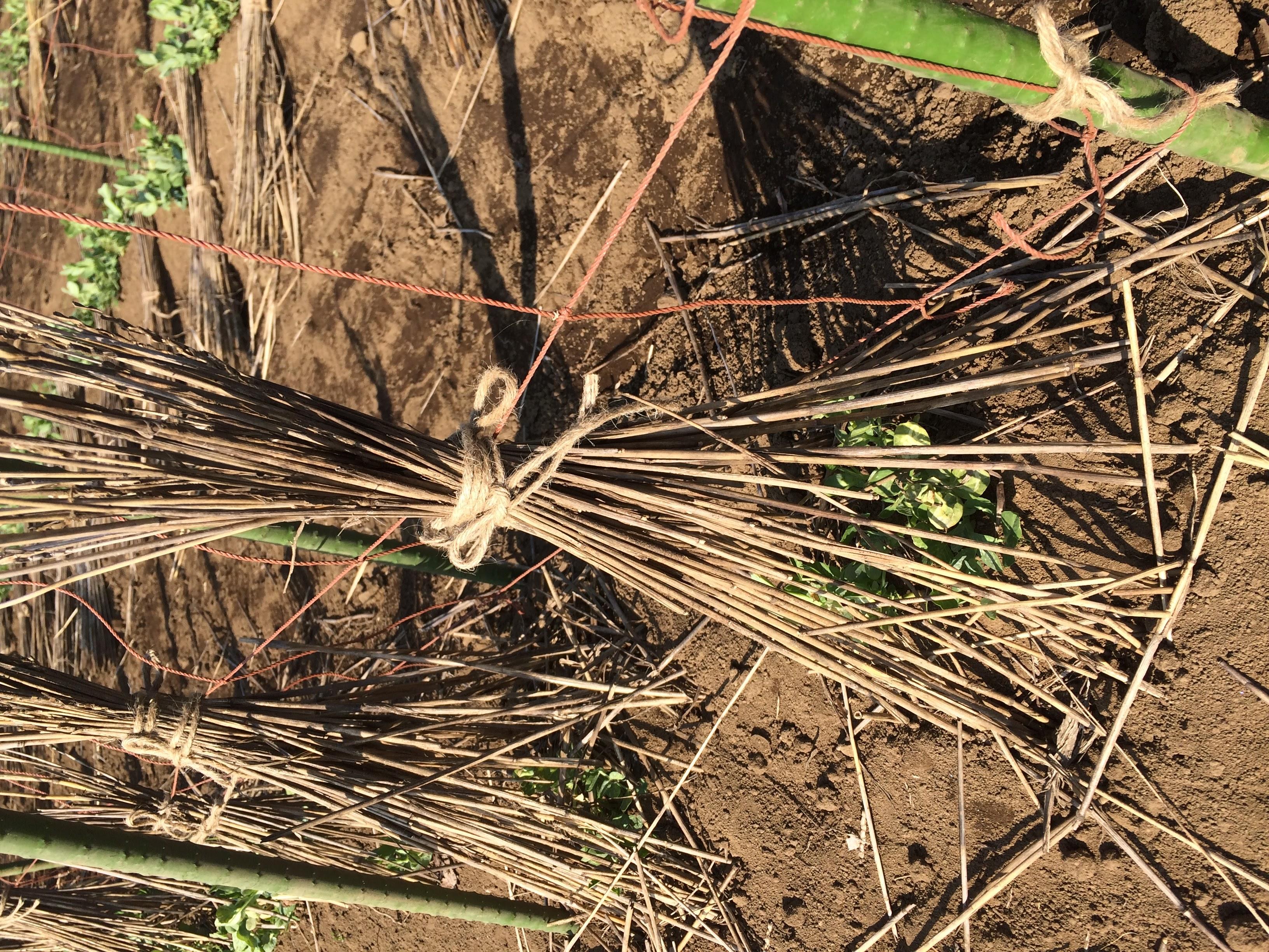 スマップ?スナップ?遠藤さん?(笑)【無肥料自然栽培農家 明石農園 研修15日目(2016年2月27日)】