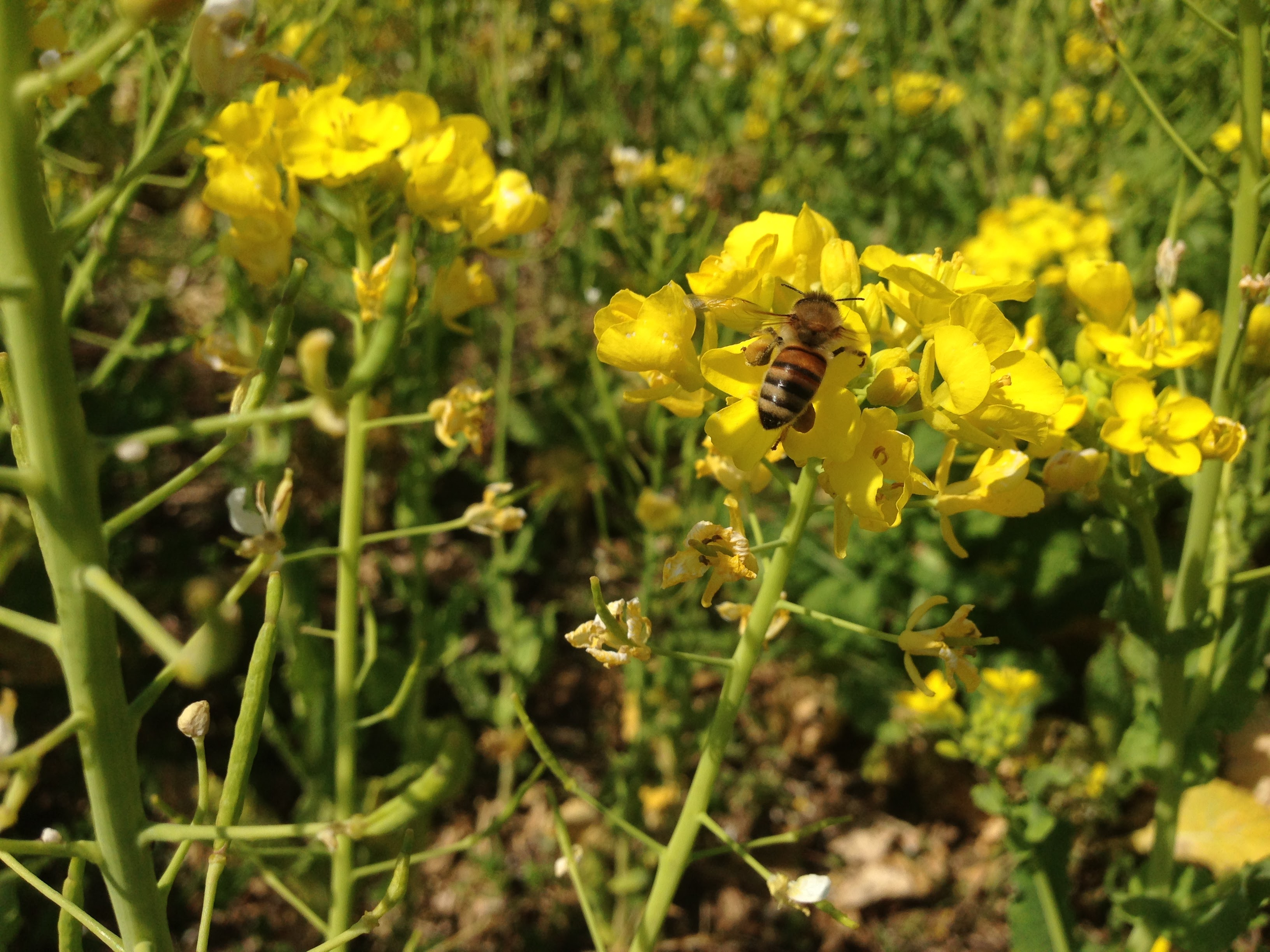 ミツバチが飛び交う畑=安心安全【無肥料自然栽培農家 明石農園 研修31日目(2016年3月26日)】