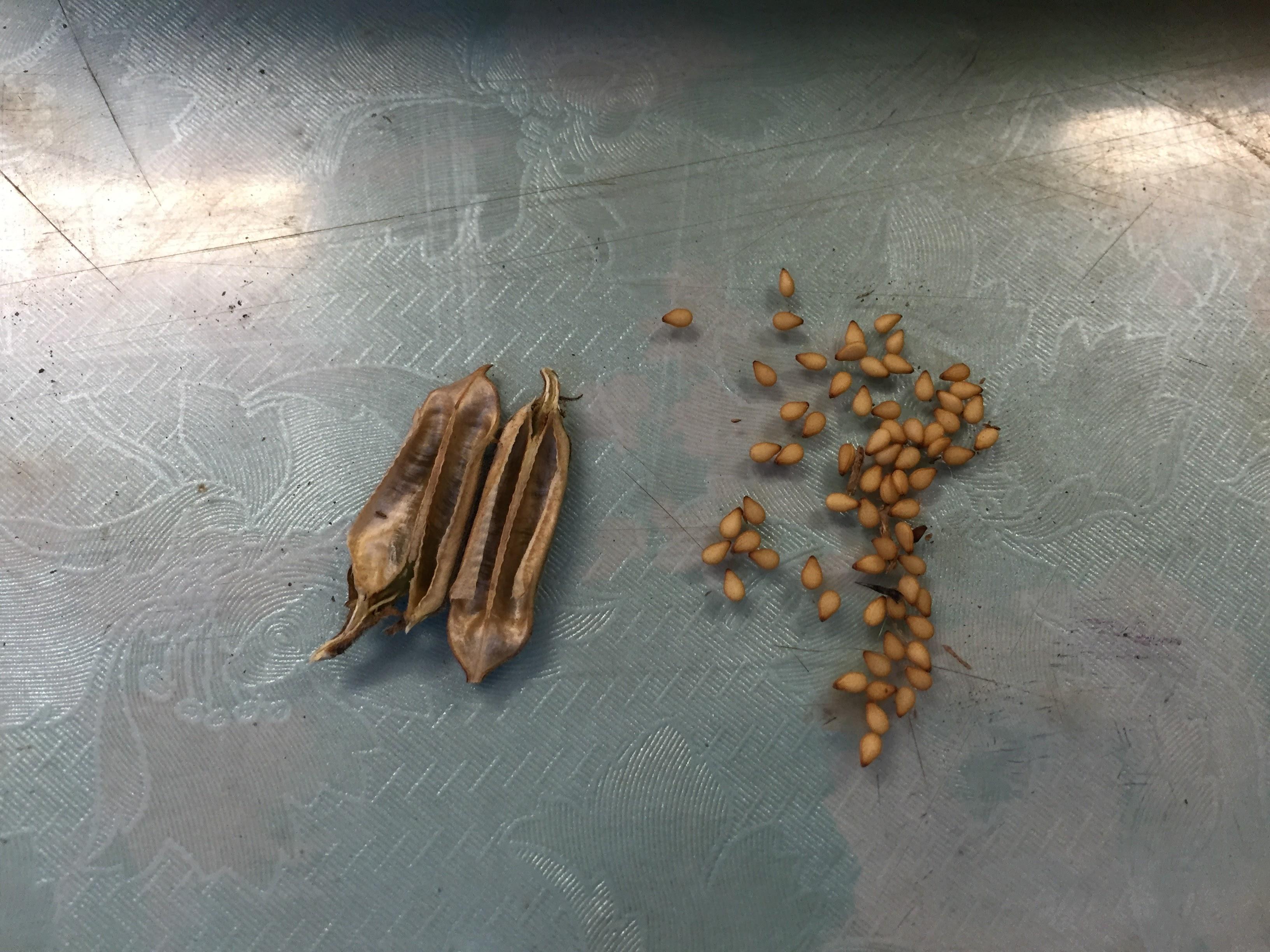 一粒万倍は本当か?胡麻で実験してみました!【無肥料自然栽培農家 明石農園 研修113日目(2016年8月29日)】
