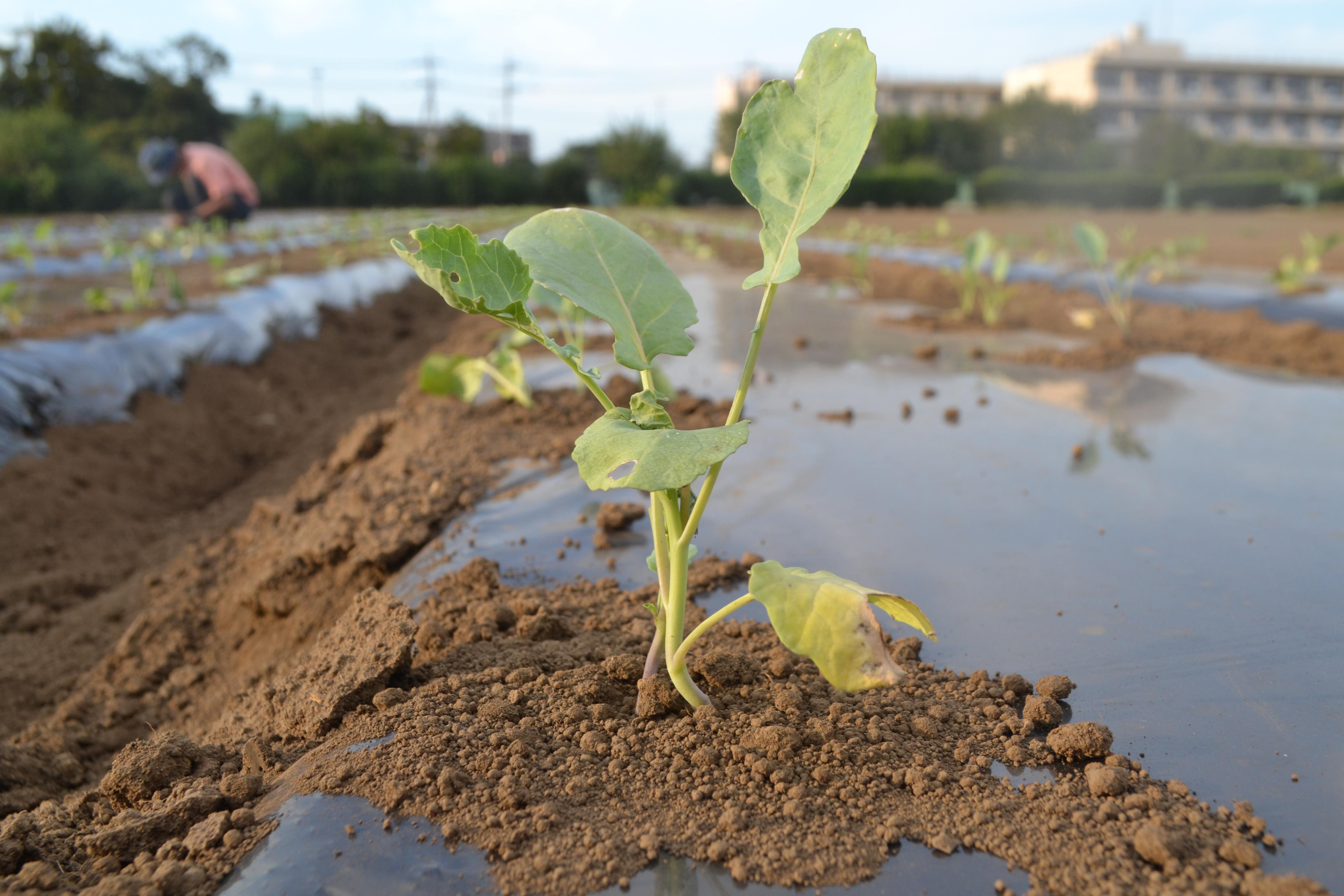 自然栽培野菜と自然治癒力!【無肥料自然栽培農家 明石農園 研修123日目(2016年9月19日)】