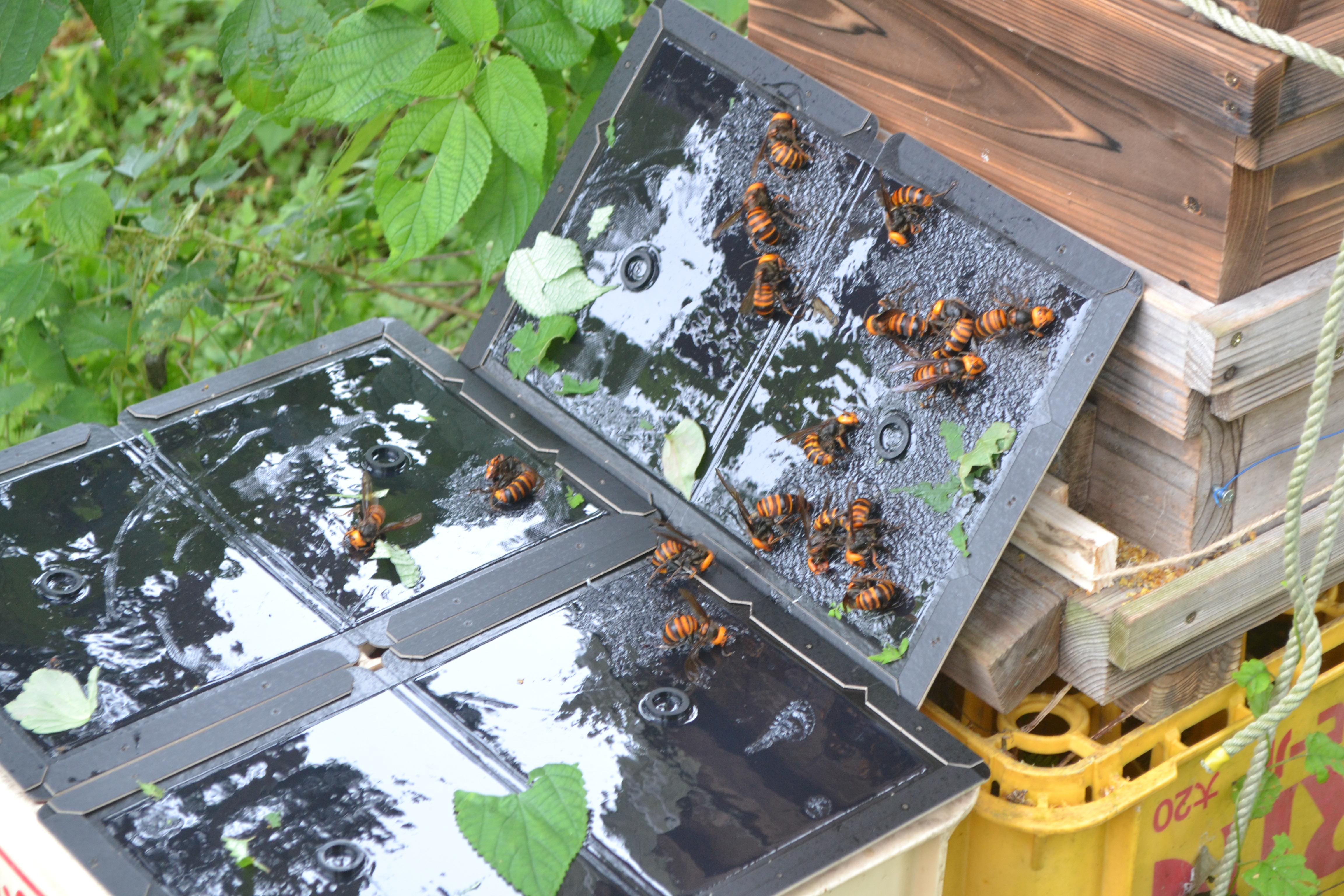 【緊急事態!】日高くるくるねっとの「ニホンミツバチ」が「オオスズメバチ」に襲撃されたようです!