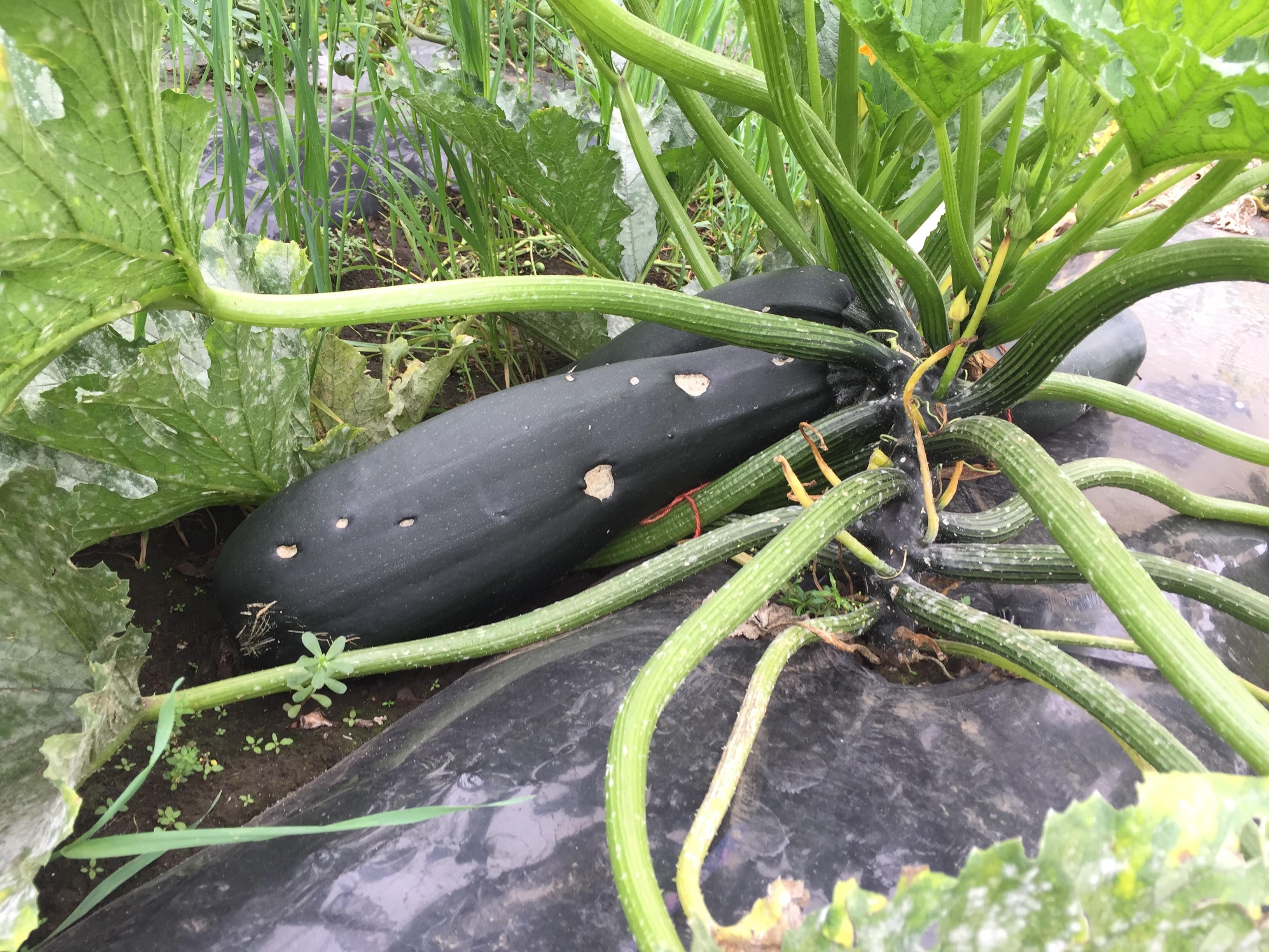 枝豆・ズッキーニは今週中で一旦終了します。