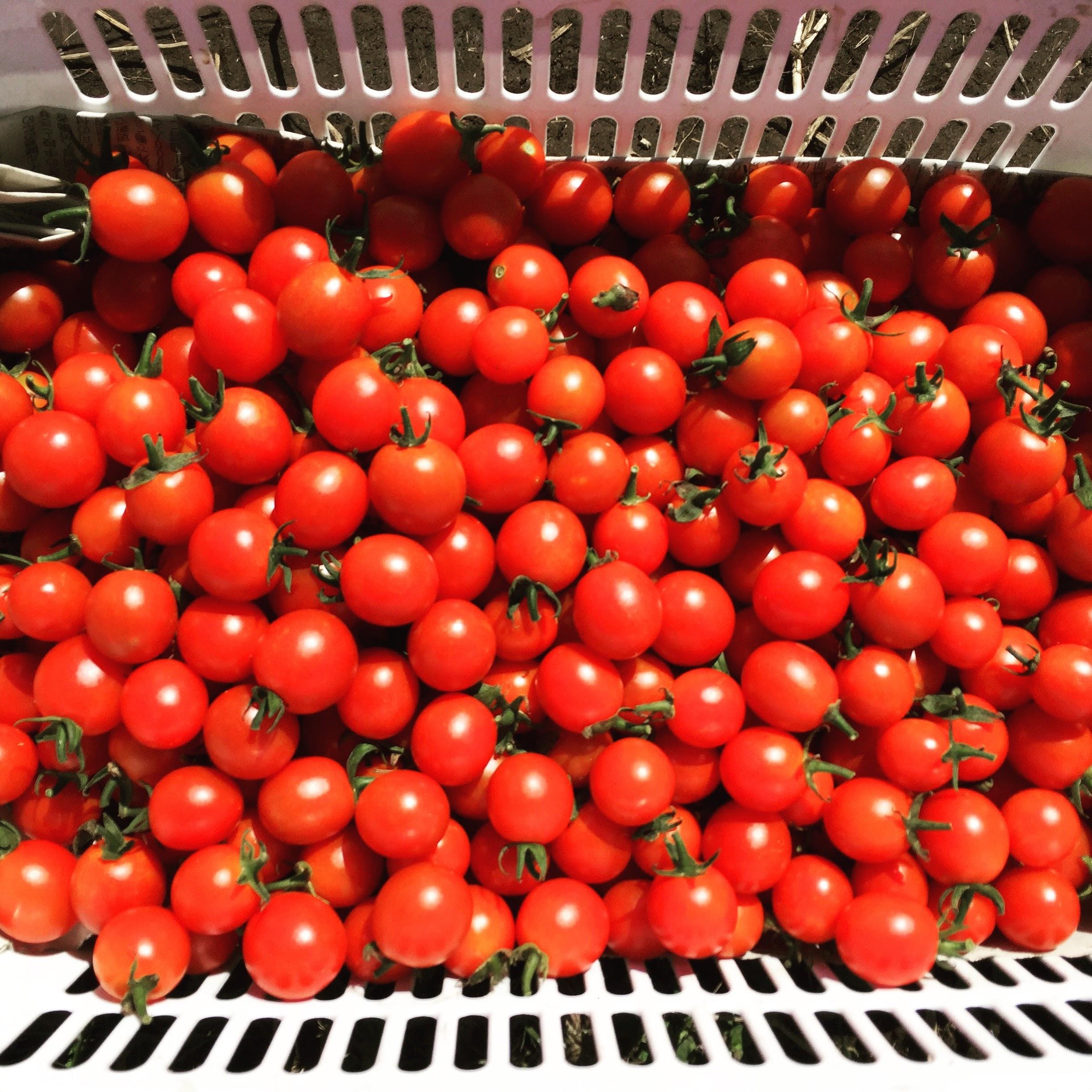 トマト栽培を振り返ってみて!(2017年)