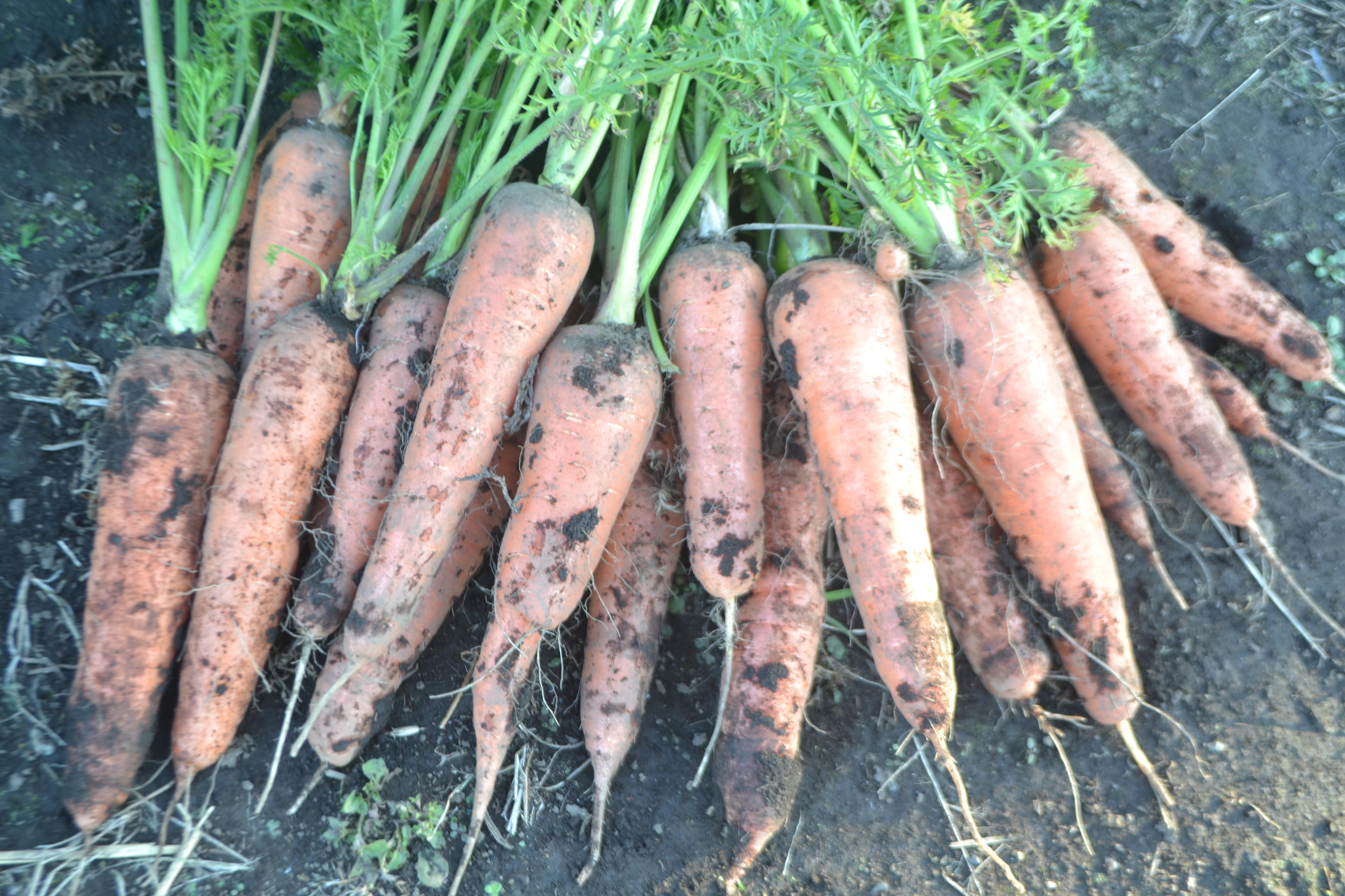 自然栽培・固定種・黒田五寸人参「5kg」「10kg」まとめ買いセール♪