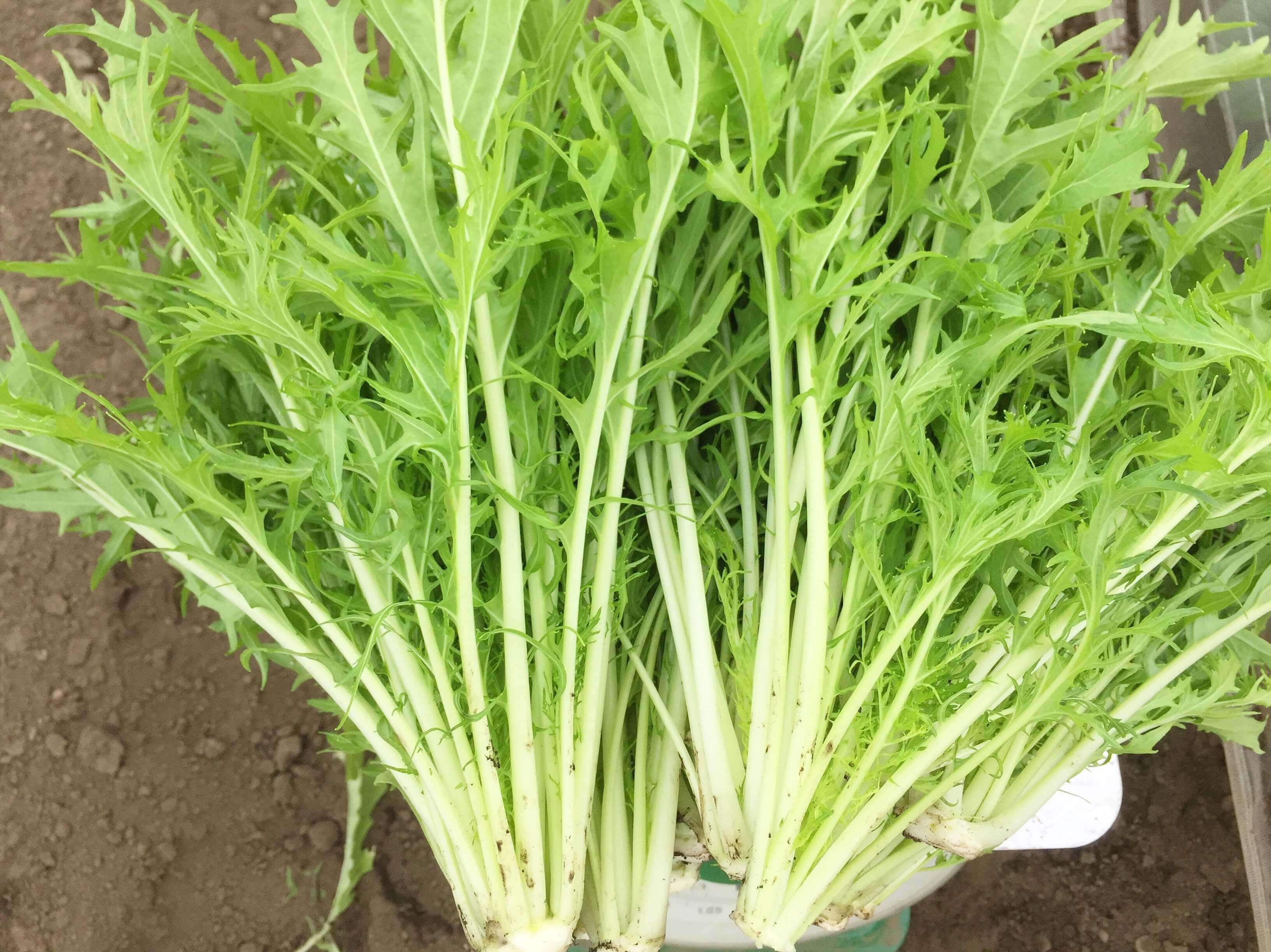 春の葉物野菜の特徴は?
