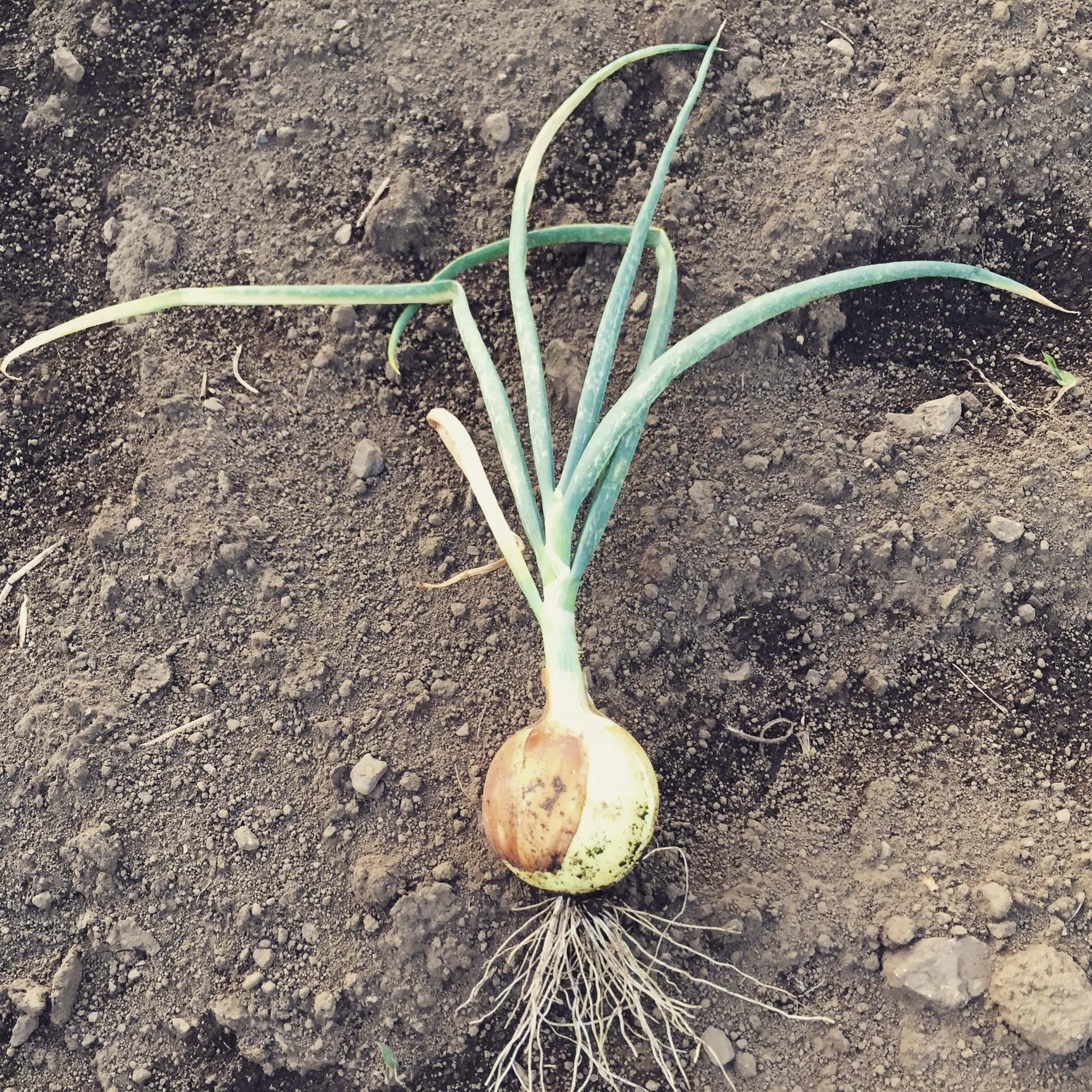 新たに少しづつ採れ始めた野菜たち!