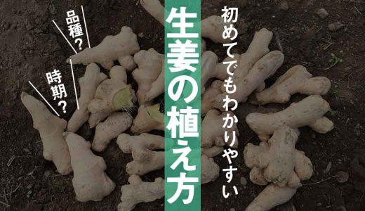 【生姜の植え方】家庭菜園はじめてでもわかりやすく解説