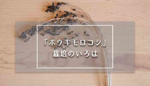 【箒の原料】ホウキモロコシの栽培方法を解説。【2020年産たねの配布もスタート】