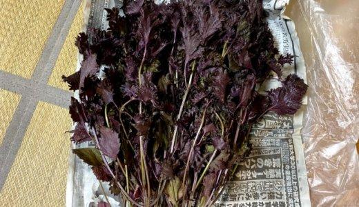 枝付きの「赤紫蘇」は、葉っぱのみにすると何グラムになるのか?計ってみた!