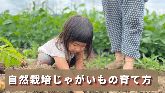 じゃがいもの育て方 じゃがいも栽培 自然栽培