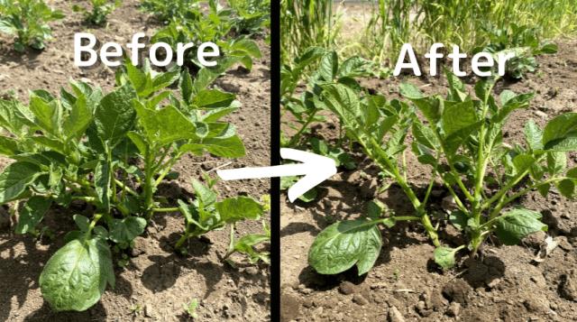 じゃがいも栽培 自然栽培 種芋 植え方 芽かき