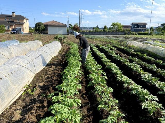 じゃがいも 土寄せ ののの農園 自然栽培 無農薬