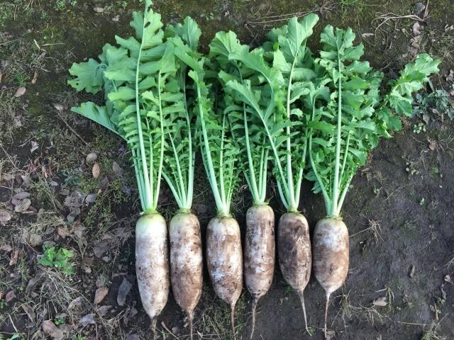 大根 源助大根 自然栽培 無農薬 ののの農園