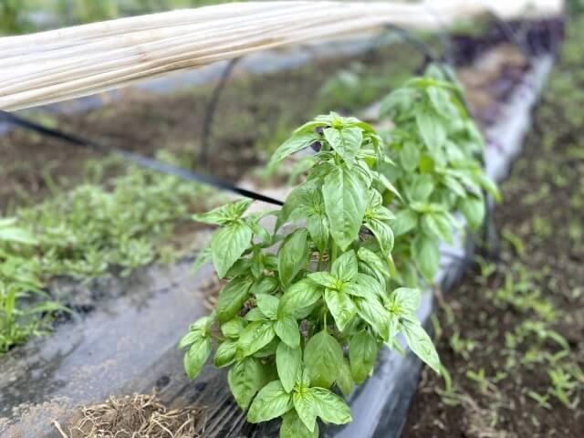 バジル 自然栽培 ののの農園 無農薬 無肥料