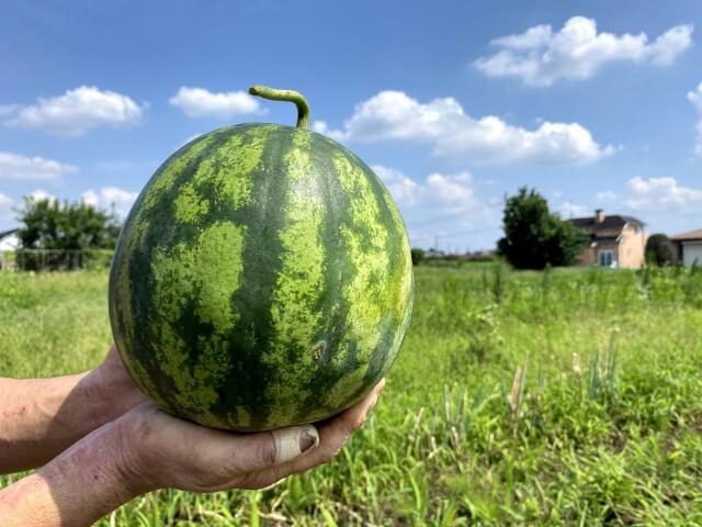 スイカ 自然栽培 ののの農園 無農薬 無肥料